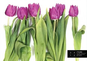 AG Design Fotobehang Paarse Tulpen FTS0065