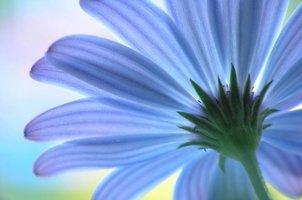 Dutch DigiWalls Fotobehang 70004 Blauwe Anemone