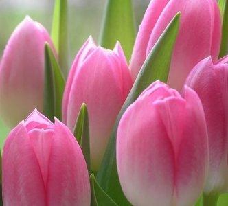 Dutch DigiWalls Fotobehang 70010 Tulpen
