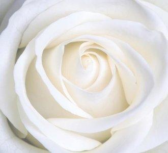 Dutch DigiWalls Fotobehang 70016 Witte roos